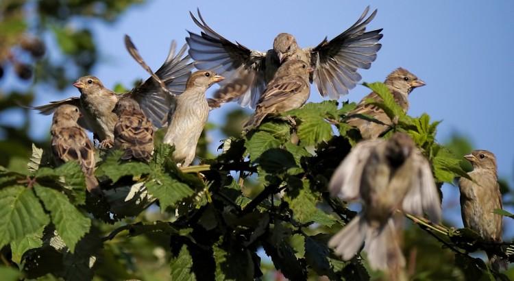 sparrows-806166_1280
